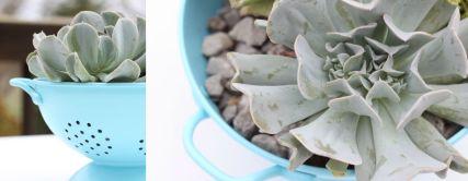 Coalander-succulent
