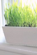 an-elegant-white-planter-with-wheatgrass-is-a-stylish-and-living-spring-decoration-for-any-home
