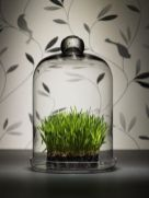 wheatgrass-in-a-cloche-is-a-stylish-modern-decoration-for-spring-and-its-easy-to-make