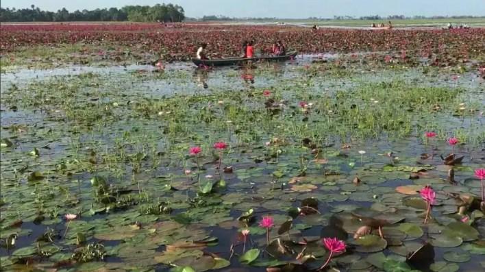 गुलाबी लिली धान (फोटो क्रेडिट: एएनआई)