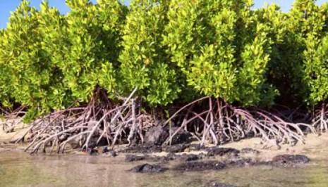 Image result for mangrove tree in kolkata