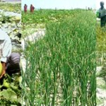 Cropping on char lands becoming popular in Rangpur region