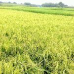 Boro rice procurement begins in Rajshahi