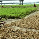 Bumper groundnut production likely in Rangpur