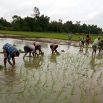 Aman cultivation begins in Panchagarh