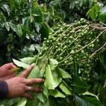 Despondent Guatemalan coffee growers dream of US return