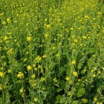 2.93-lakh tonnes mustard seed yield likely in Rajshahi division