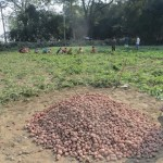 Panchagarh farmers smile amid bumper potato production