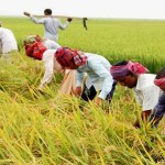 62 percent of boro paddy harvested in haor districts