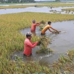 Kurigram farmers lament after failing to harvest inundated Boro paddy