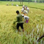 Rajshahi farmers face difficulties in cutting paddy for incessant rain