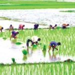 Aman cultivation begins in Panchagarh