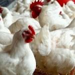 Bird flu outbreaks spread: Vietnam culls 100,000 poultry