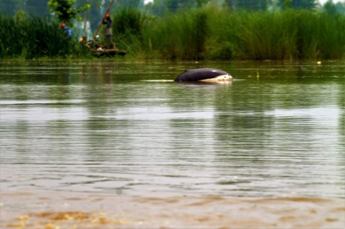 Spotting the elusive Indus river dolphin Dolphin near village mundapind WWF India