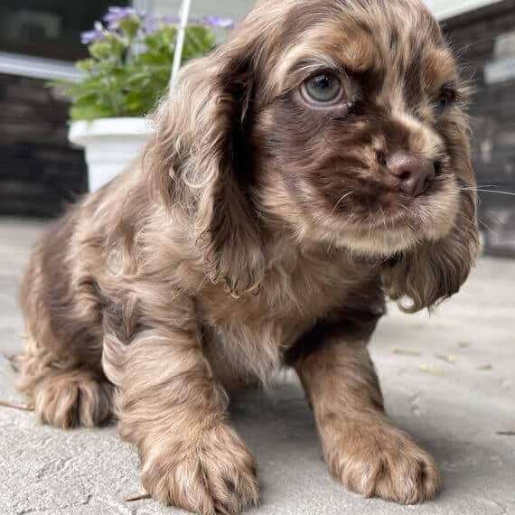english cocker spaniel puppies for sale in texas