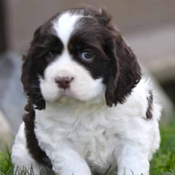 cocker spaniel puppies for sale in florida