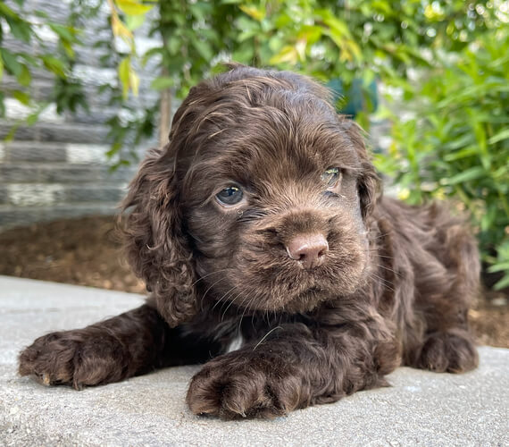 cocker spaniel puppies for sale in texas