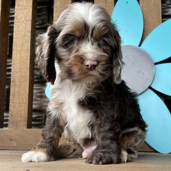 cocker spaniel puppies for sale in alabama