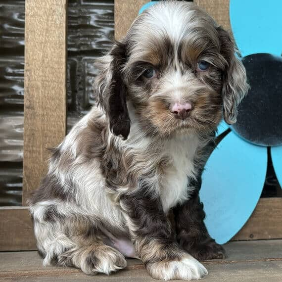 cocker spaniel puppies for sale in ky