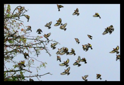 Goldfinch and other song birds can be seen in large flocks in the Autumn