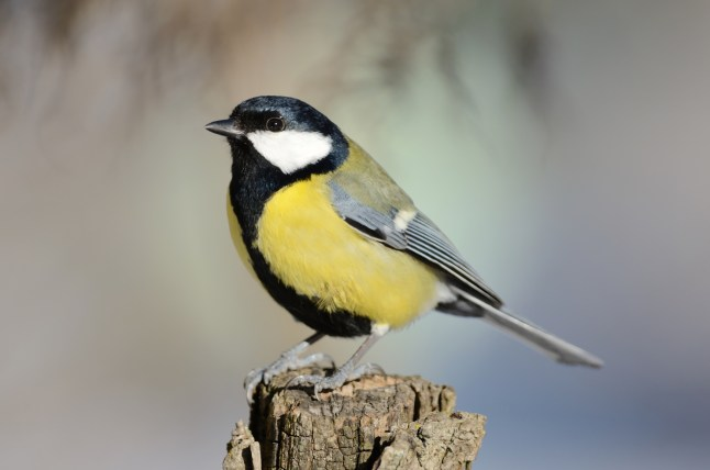 Dubwath Silver Meadows supports many different types of wildlife, including the Great Tit