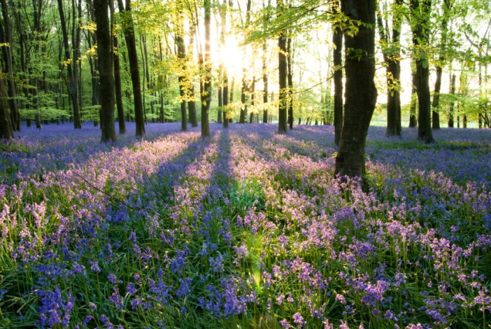 A beautiful carpet of bluebells in a woodland setting with the sun which is setting casting long shadows of trees