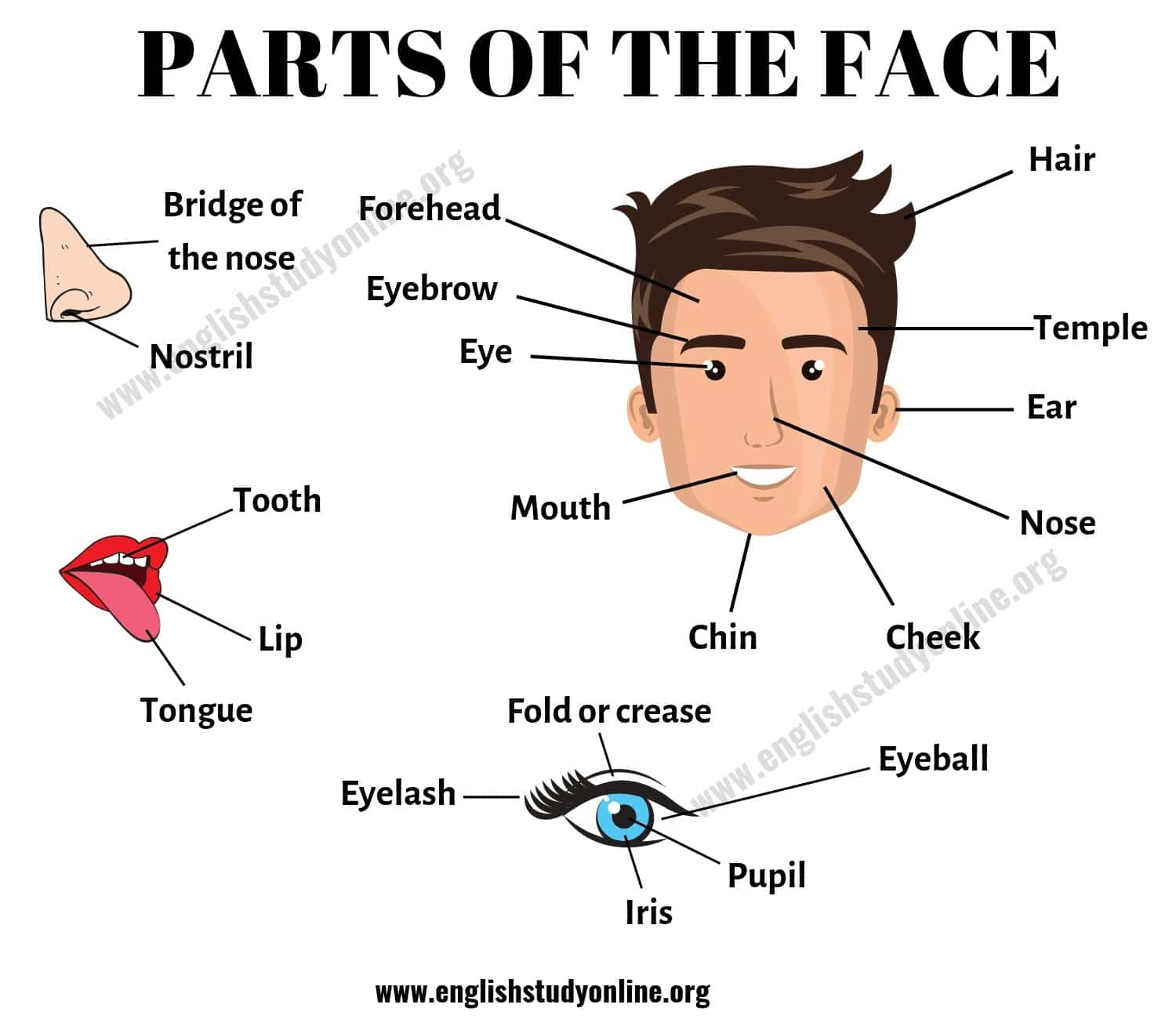 Parts Of The Face List Of Useful Face Parts Vocabulary In