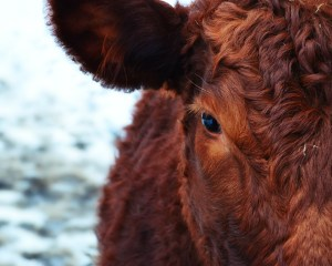 Picture of cow