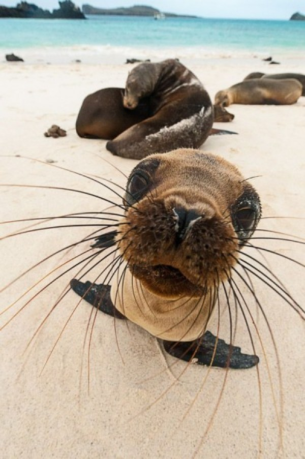 A curious baby seal