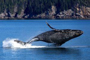 Ušní maz velryb nedávno odhalil překvapivé skutečnosti!