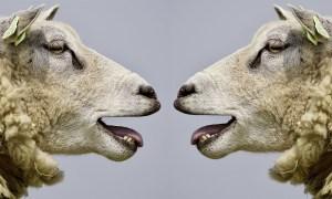 Šílenství ovcí v Oxfordshiru: Stáda ovcí v celém hrabství se splašila v jeden okamžik