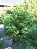 l'AK est une plante très tardive qui double de taille entre juillet et fin octobre.