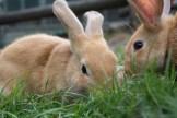 他のウサギと群れたがりました