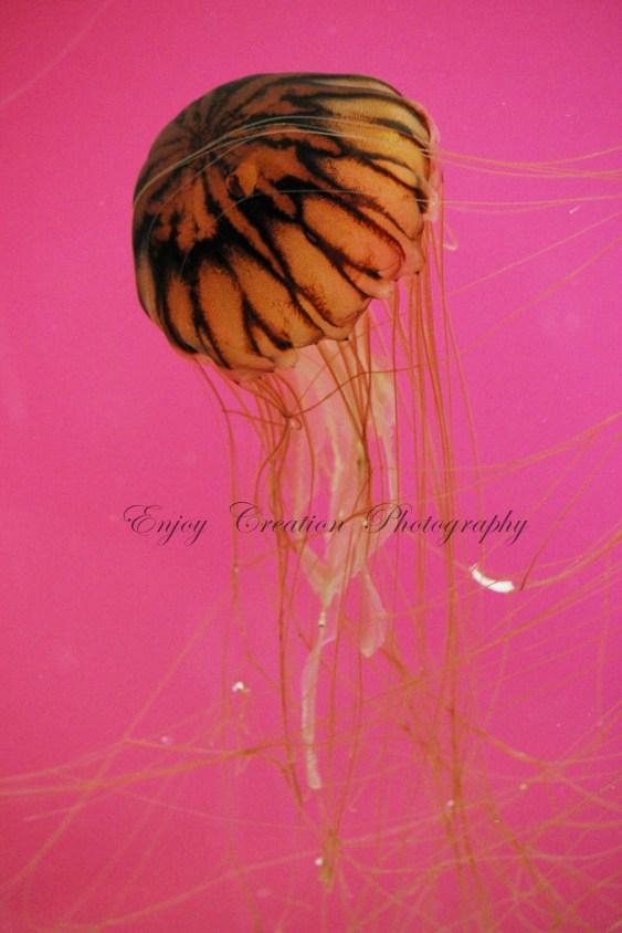 Orange Striped Jellyfish