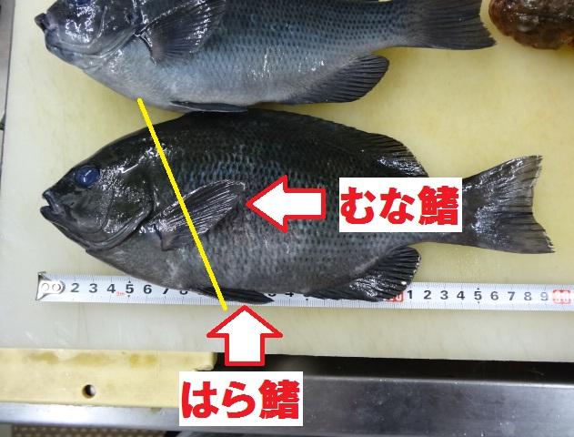 メジナ レシピ 3枚卸し 魚のさばき方