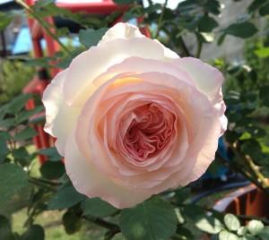 ピエールドゥロンサール一番花