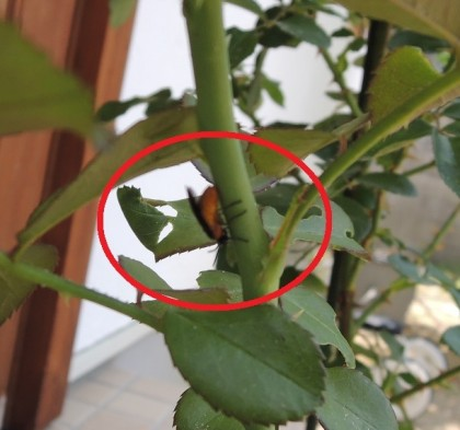 チュウレンジハバチ