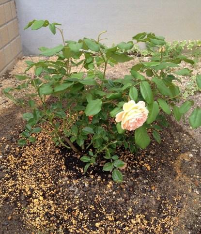 19植えてから花柄つみ