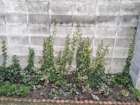 ブロック塀をアイビーが覆う01