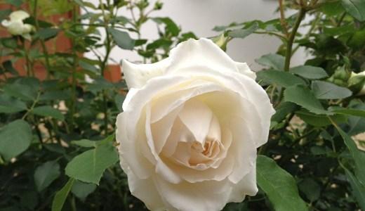 コスモス(バラ)が開花!病気に超強く可愛い!