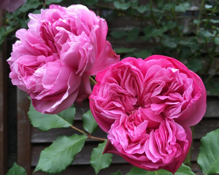 バラの初心者向け品種!病気に強くたくさん咲くバラ!