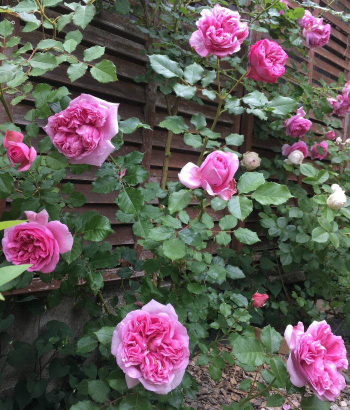 ローズポンパドールが開花