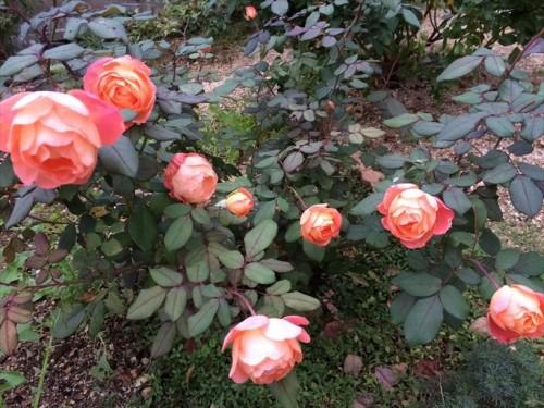 夏剪定後のバラが開花003