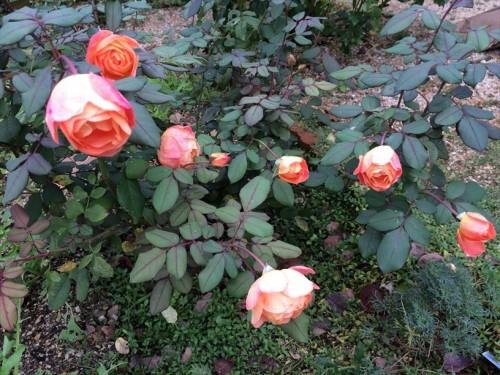 夏剪定後のバラが開花002