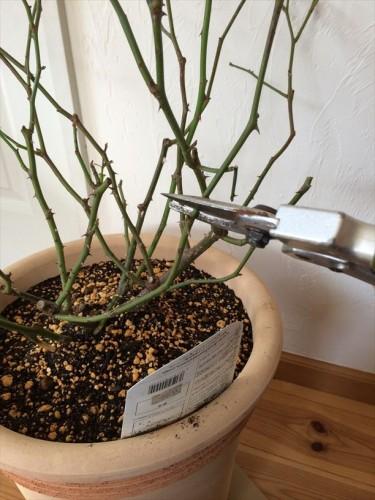 シャルロットオースチンの冬剪定半分&外芽で切る