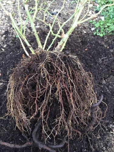 バラ苗の根っこから土を落とした