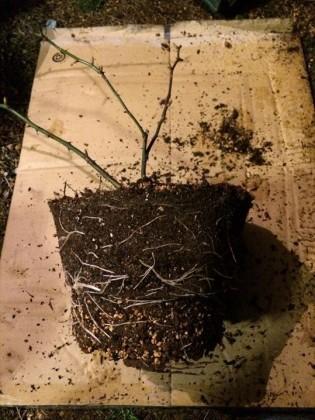 クラウンプリンセスマルガリータ根鉢