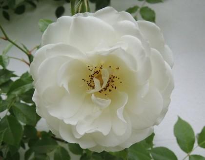 つるアイスバーグが開花8