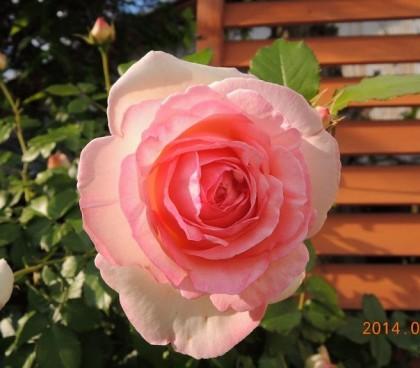 ピエールドゥロンサールが開花3