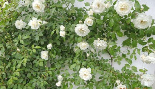 つるアイスバーグが開花!挿し木のバラもちゃんと咲く♪